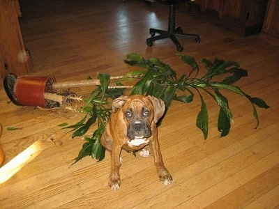 Bruno the Boxer Puppy sitting in front of a fallen plant