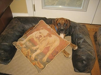 Bruno the Boxer laying in the dog bed with a Bulldog pillow