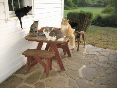 Four cats laying and sitting on a table and a window sill on a porch with Bruno the Boxer in the background