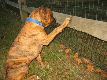 Bruno the Boxer puppy pawing at the fence
