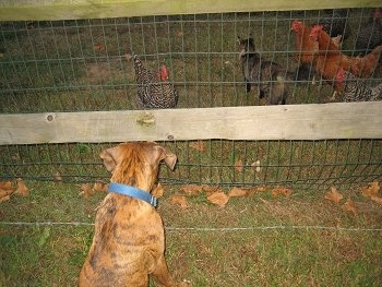 Bruno the Boxer puppy looking at chickens and a cat through the fence