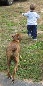 Bruno the Boxer puppy following the little boy