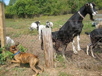 Bruno the Boxer Puppy running along a fence line in front of goats