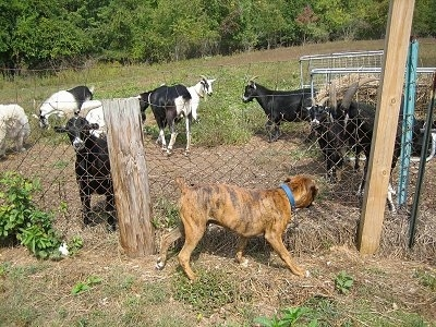 Bruno the Boxer puppy walking up and down the fenceline staring at goats