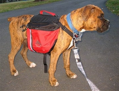 Bruno the Boxer puppy wearing a dog backpack standing on blacktop side view
