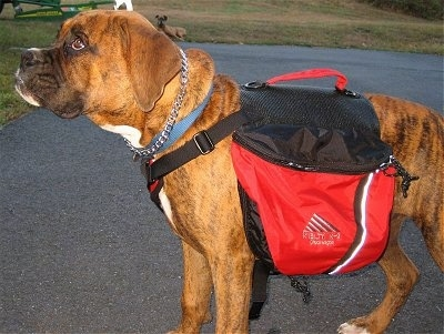 Bruno the Boxer Puppy wearing a dog backpack