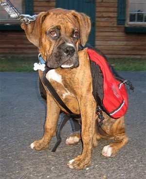 Bruno the Boxer puppy wearing a dog red backpack sitting on a blacktop