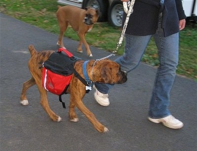 Bruno the Boxer puppy wearing a dog backpack being walked