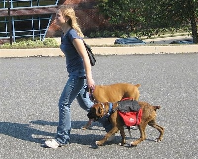 Bruno and Allie the Boxers being walked by there owner