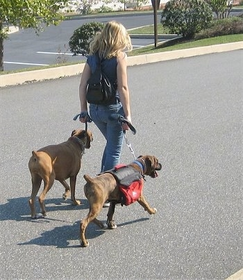 Lady leading two dogs in a walk in a parking lot
