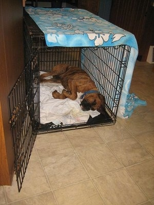 Bruno the Boxer Puppy sleeping in his crate