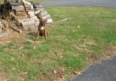 Bruno the Boxer Puppy sitting in front of a pile of chopped wood
