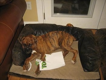 Bruno the Boxer laying in a dog bed with chewed up homework