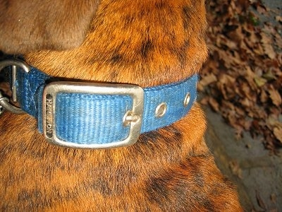Close Up - Bruno the Boxer puppy collar