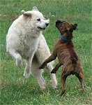 Bruno the Boxer and Tacoma the Great Pyrenees jumping at each other