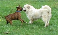 Bruno the Boxer running at Tacoma the Great Pyrenees