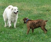 Bruno the Boxer and Tacoma the Great Pyrenees playing around