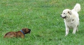 Bruno the Boxer laying in grass trying to play with Tacoma the Great Pyrenees