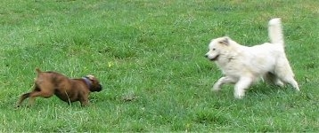 Bruno the Boxer and Tacoma the Great Pyrenees are running at each other