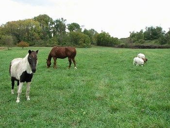 Bruno the Boxer and Tacoma and Tundra the Great Pyrenees Checking out the horses