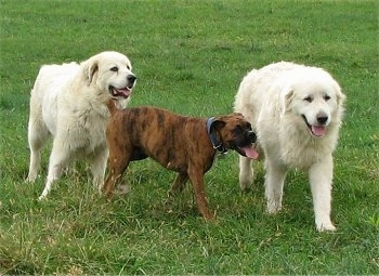 Left Tacoma the Great Pyrenees 115 pounds, Middle Bruno the Boxer 52 pounds, Right Tundra the Great Pyrenees 124 pounds