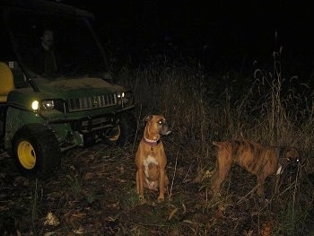 Allie and Bruno the Boxer sitting in front of a green John Deere Gator