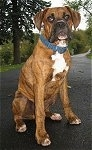 Bruno the Boxer as a Puppy sitting outside on a blacktop with a long driveway in the background
