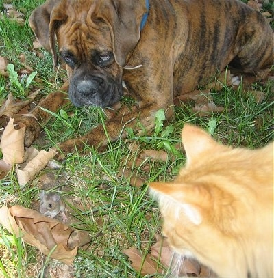 Bruno the Boxer laying in leaves in front of a mouse next to a cat
