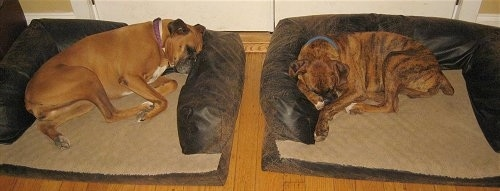 Allie and Bruno the Boxers sleeping there respective dog beds
