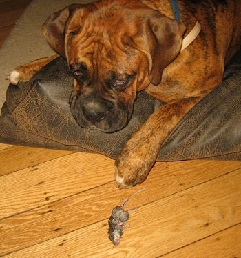 Bruno the Boxer laying in the dog bed with a dead mouse