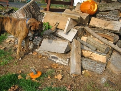 Bruno the Boxer Puppy looking at a Pumpkin top