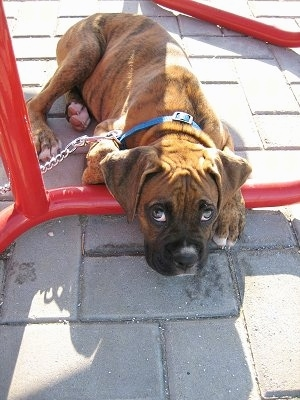 Bruno the Boxer Puppy laying under a table
