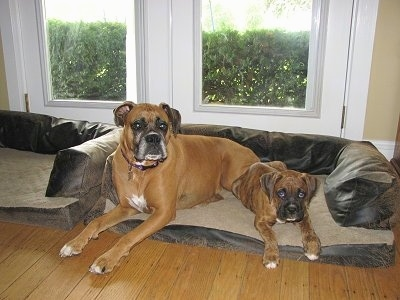 Bruno and Allie the Boxers share a dog bed