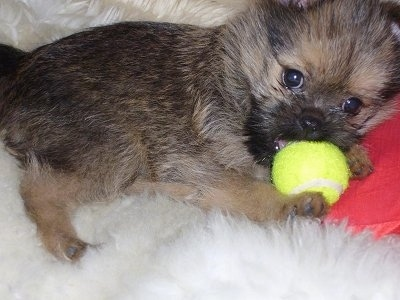 Close Up - Digit the Brusselranian puppy laying on a furryrug with a tennis ball in its mouth