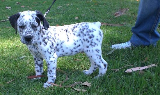 Bullmatian Dog Breed Information