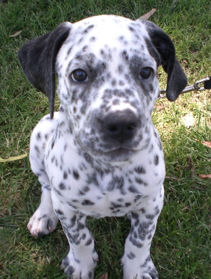 Dalmatian Puppies on Bullmation  English Bulldog Dalmation Cross    All Dogs   Juxtapost