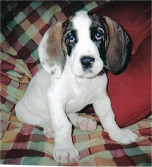 Norman, the Bully Basset as a young puppy (English Bulldog / Basset Hound Hybrid)