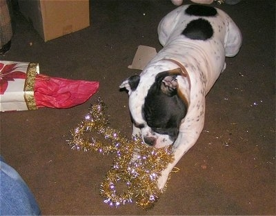 Duke the Olde English Bulldog is chewing on gold Christmas garland tinsel