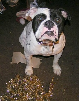Duke the Olde English Bulldog is sitting next to the chewed gold Christmas garland tinsel
