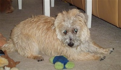 Ditka is a registered Cairnese hybrid, shown here at 8 months old (Havanese / Cairn Terrier mix)