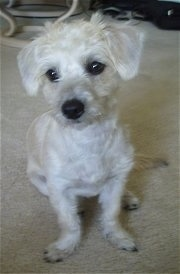 Addi the Cairnoodle Puppy, with her haircut, is sitting on a carpet and looking to the left