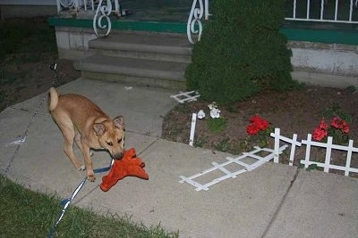 Basenji mix puppy is standing on the walkway to a house. He has a red plush dinosaur toy in his mouth and the small garden fence is broken and laying on its side