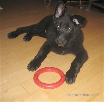 Shadow the Shiloh Shepherd puppy is laying on a hardwood floor with a red toy ring in front of it. Shilohs left ear is up and right ear is down