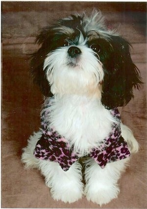 Chloe the Cava-Tzu is wearing a pink and black leopard shirt sitting on a couch and looking up