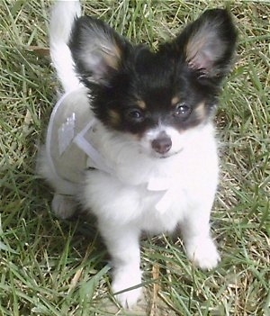 Chloe Chanel the longhaired white, black and tan Chihuahua is sitting outside while wearing a tan and white vest