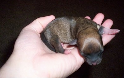 Newborn Chihuahua Puppy being held in a persons hand