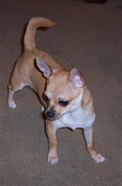 Oscar, the Chihuahua, at 8 months old