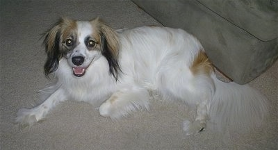 Suggie at 2 1/2 years old. Cock-a-mo (American Cocker Spaniel x American Eskimo)