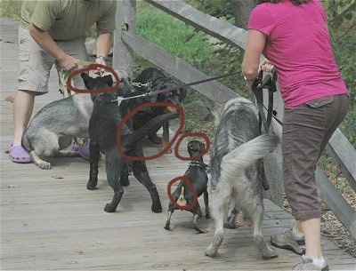 Five dogs meeting on a wooden bridge. Two of the dogs are showing signs of aggression. There are four red circles over the dogs showing signs of aggression.