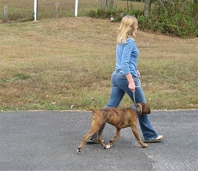 Left Profile - Bruno the Boxer being walked on a blacktop by a lady